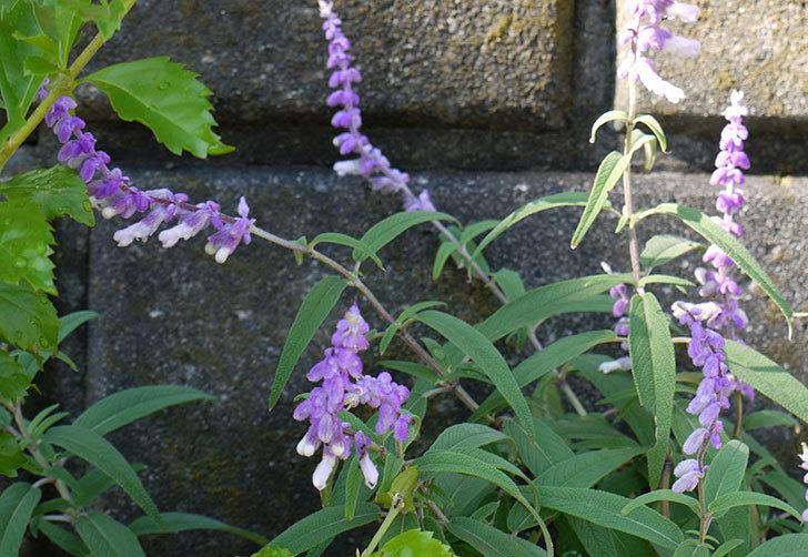 サルビア・レウカンサの花が本格的に咲いた3.jpg