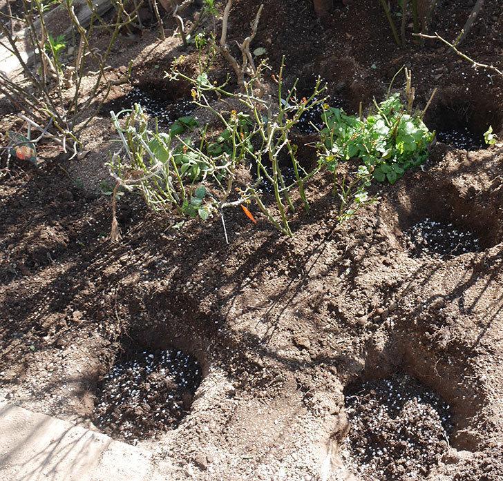 サンスプラッシュ(ミニバラ)に寒肥を施した。2020年-2.jpg