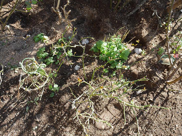 サンスプラッシュ(ミニバラ)に寒肥を施した。2020年-3.jpg