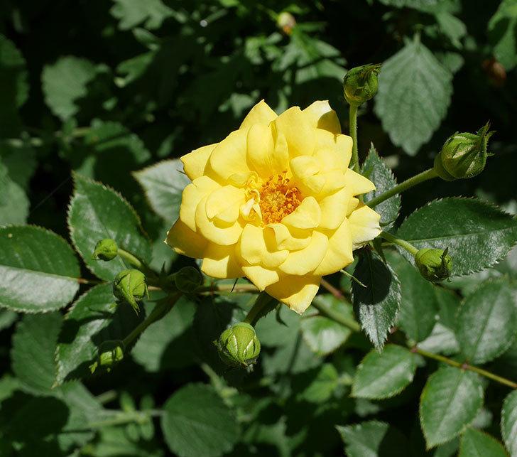 サンスプラッシュ(ミニバラ)の2番花が咲いた。2018年-1.jpg
