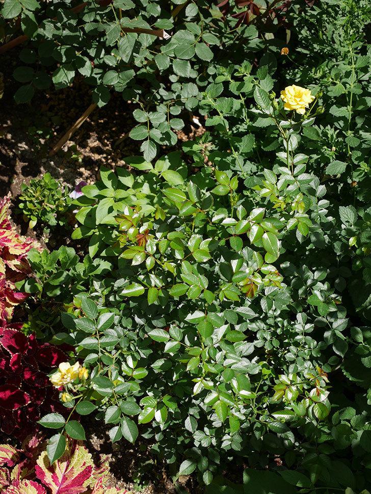 サンスプラッシュ(ミニバラ)の2番花が咲いた。2018年-2.jpg