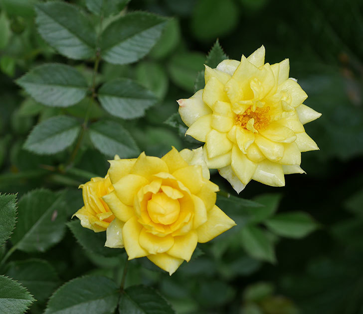 サンスプラッシュ(ミニバラ)の2番花が咲いた。2019年-1.jpg