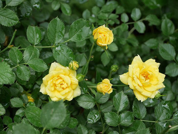 サンスプラッシュ(ミニバラ)の残っていた花が咲いた。2019年-1.jpg