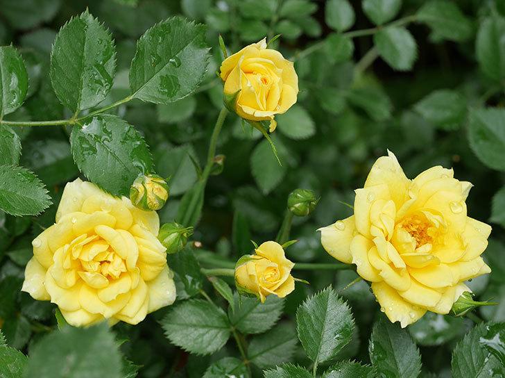 サンスプラッシュ(ミニバラ)の残っていた花が咲いた。2019年-2.jpg