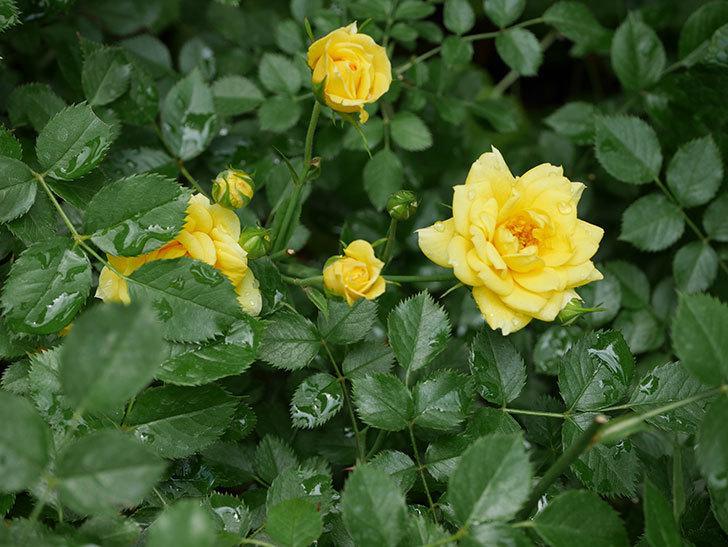 サンスプラッシュ(ミニバラ)の残っていた花が咲いた。2019年-3.jpg