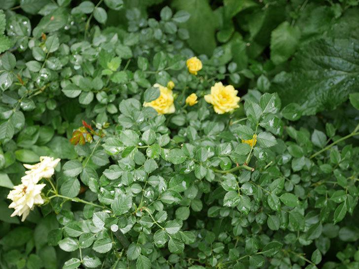 サンスプラッシュ(ミニバラ)の残っていた花が咲いた。2019年-4.jpg