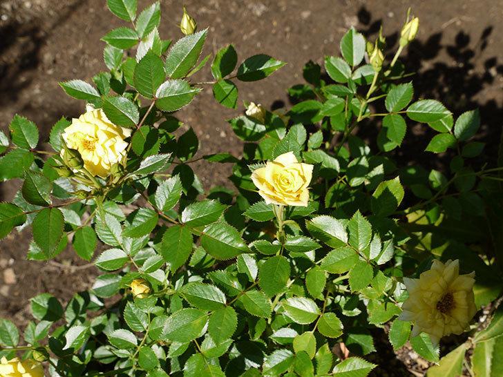 サンスプラッシュ(ミニバラ)の花がたくさん咲いた。2016年-1.jpg