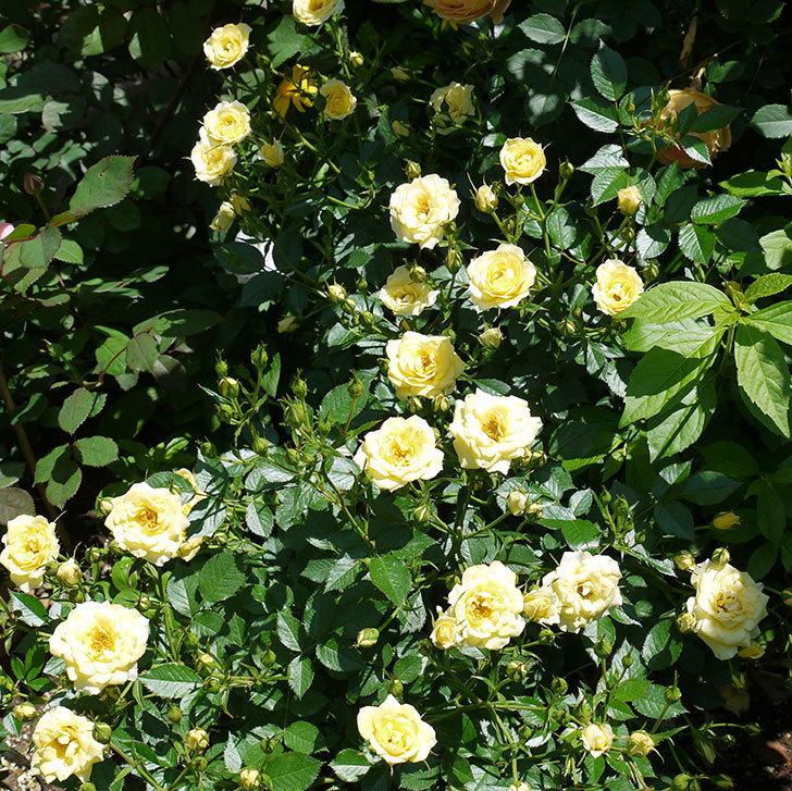 サンスプラッシュ(ミニバラ)の花がたくさん咲いた。2017年-1.jpg