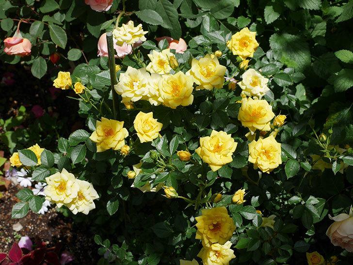 サンスプラッシュ(ミニバラ)の花がたくさん咲いた。2019年-1.jpg