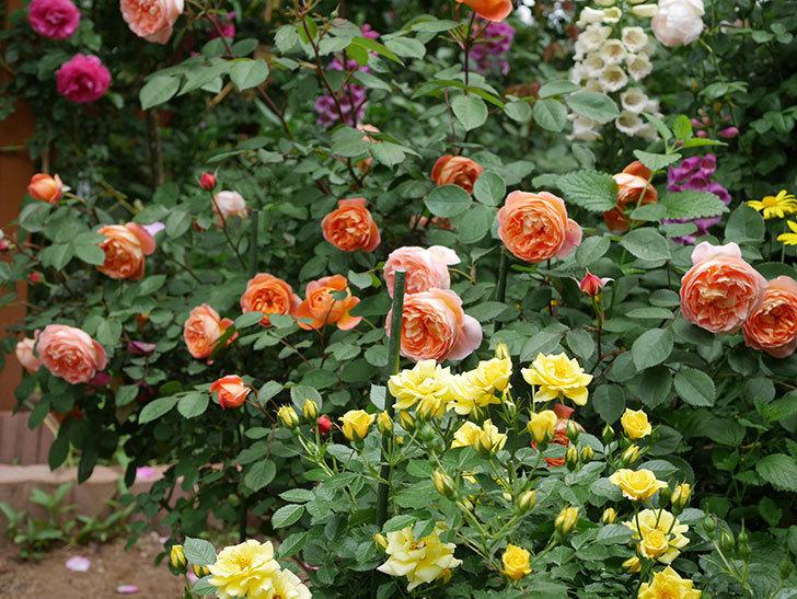 サンスプラッシュ(ミニバラ)の花がたくさん咲いた。2019年-4.jpg