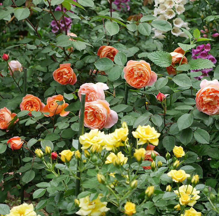 サンスプラッシュ(ミニバラ)の花がたくさん咲いた。2019年-5.jpg