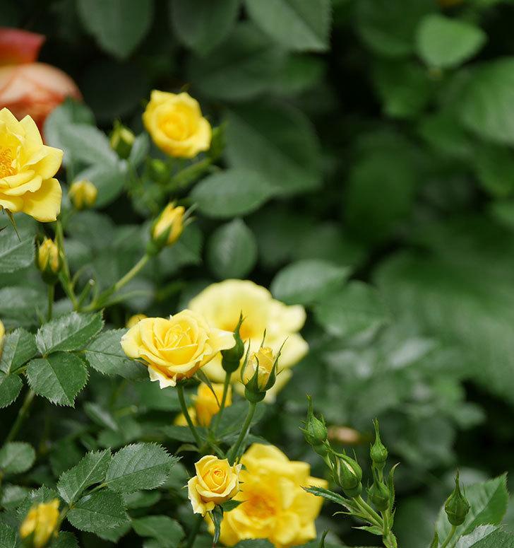サンスプラッシュ(ミニバラ)の花がたくさん咲いた。2019年-7.jpg
