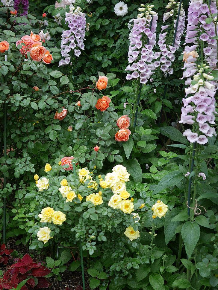 サンスプラッシュ(ミニバラ)の花がたくさん咲いた。2020年-001.jpg