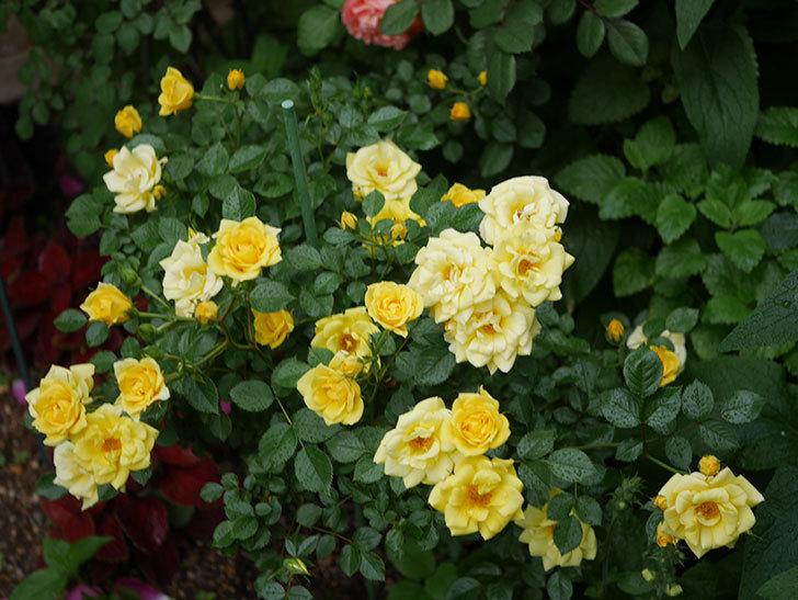 サンスプラッシュ(ミニバラ)の花がたくさん咲いた。2020年-002.jpg