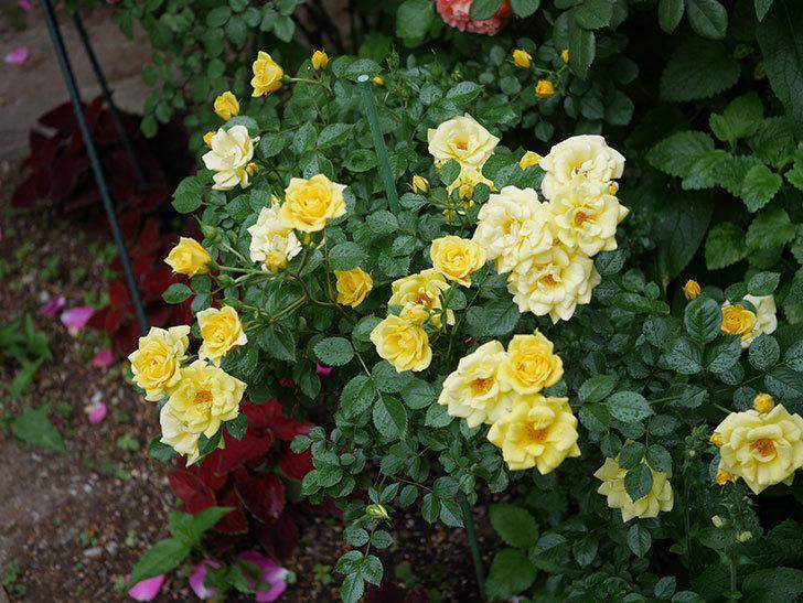 サンスプラッシュ(ミニバラ)の花がたくさん咲いた。2020年-003.jpg