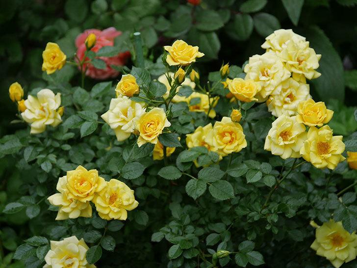 サンスプラッシュ(ミニバラ)の花がたくさん咲いた。2020年-004.jpg
