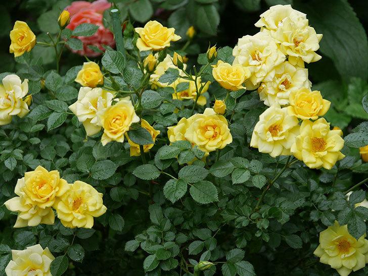 サンスプラッシュ(ミニバラ)の花がたくさん咲いた。2020年-005.jpg