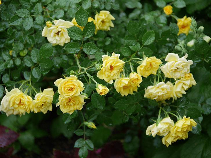 サンスプラッシュ(ミニバラ)の花がたくさん咲いた。2020年-006.jpg