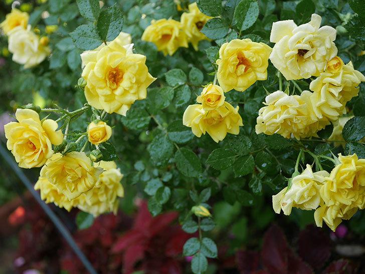 サンスプラッシュ(ミニバラ)の花がたくさん咲いた。2020年-010.jpg