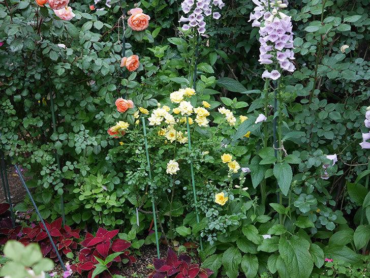 サンスプラッシュ(ミニバラ)の花がたくさん咲いた。2020年-011.jpg