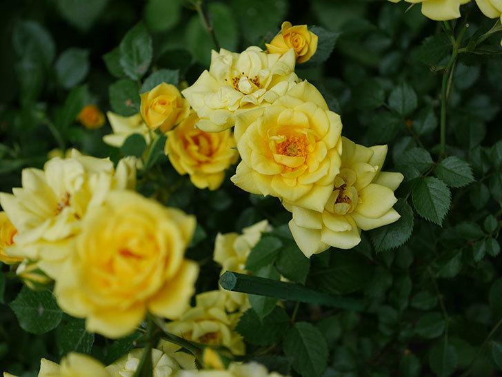 サンスプラッシュ(ミニバラ)の花がたくさん咲いた。2020年-013.jpg