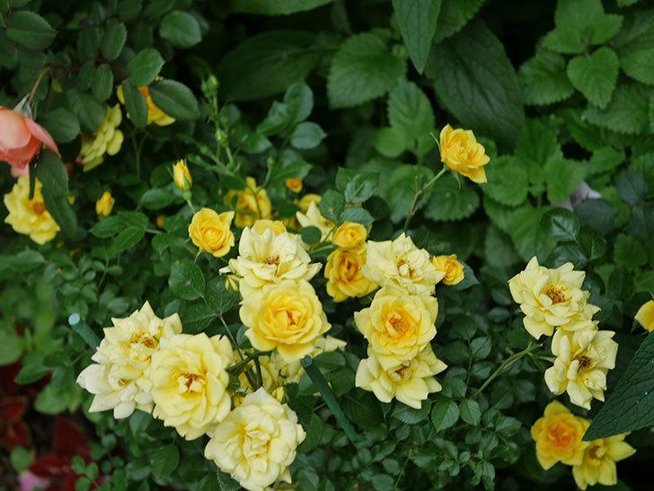 サンスプラッシュ(ミニバラ)の花がたくさん咲いた。2020年-014.jpg