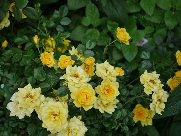 サンスプラッシュ(ミニバラ)の花がたくさん咲いた。2020年-015.jpg