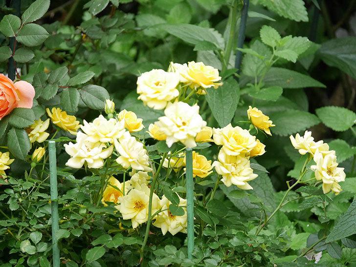 サンスプラッシュ(ミニバラ)の花がたくさん咲いた。2020年-016.jpg