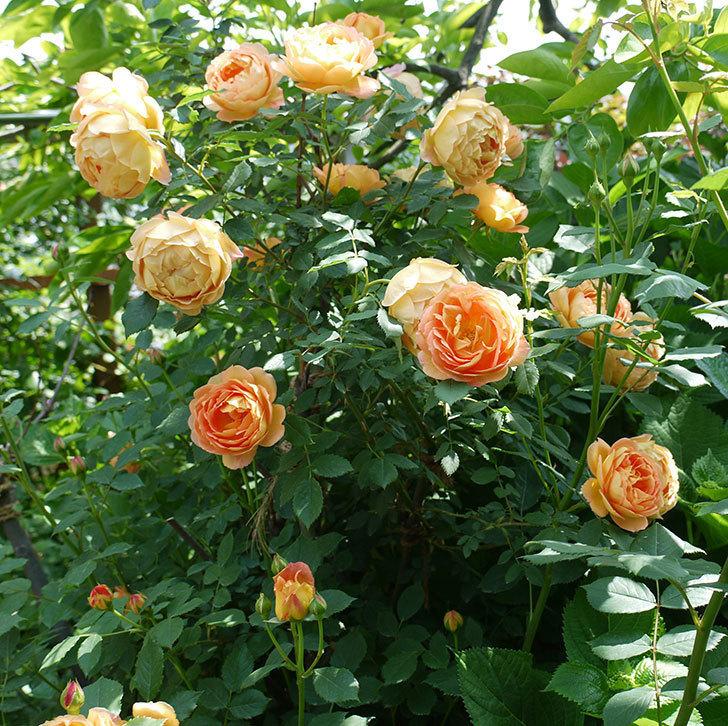 サンスプラッシュ(ミニバラ)の花が咲いた。2017年-10.jpg
