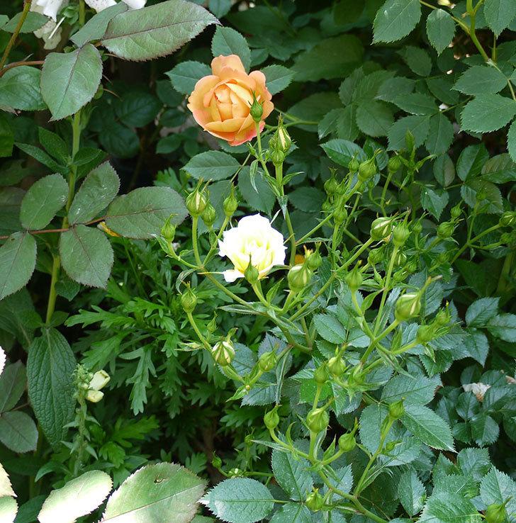 サンスプラッシュ(ミニバラ)の花が咲いた。2017年-5.jpg