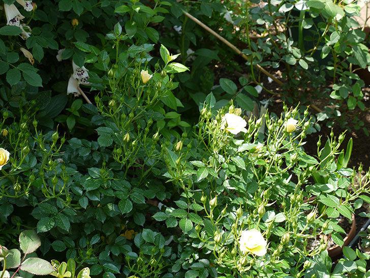 サンスプラッシュ(ミニバラ)の花が咲いた。2017年-6.jpg