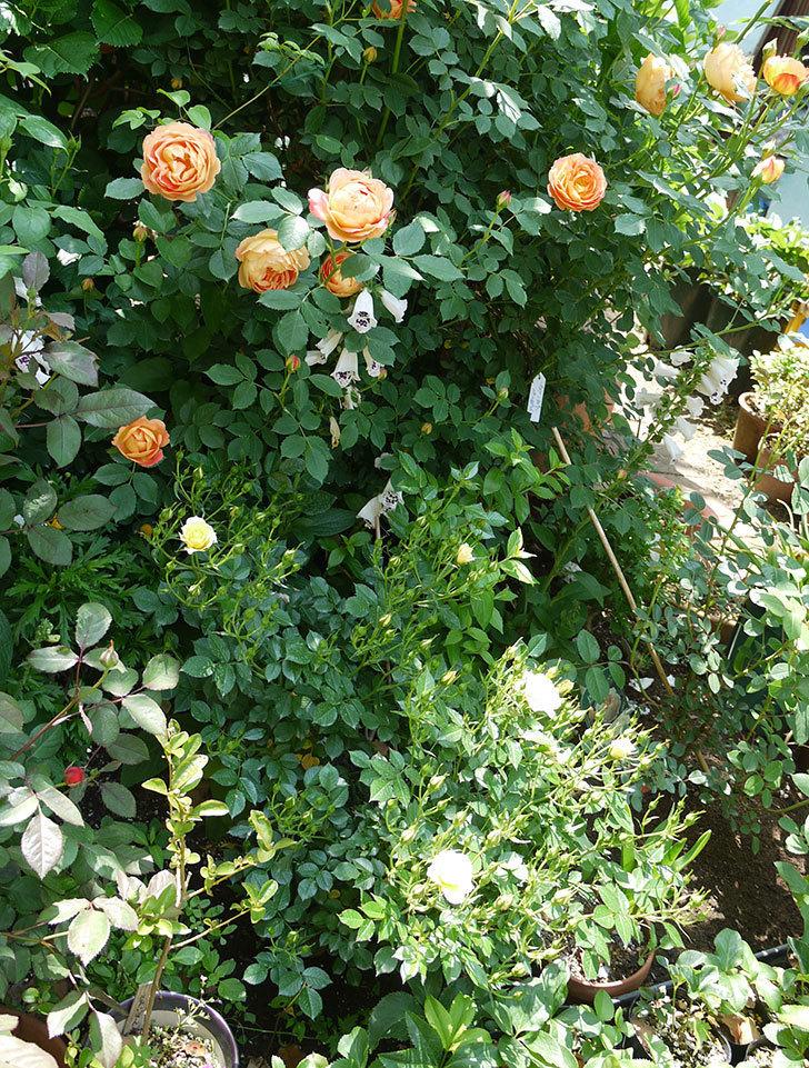 サンスプラッシュ(ミニバラ)の花が咲いた。2017年-7.jpg