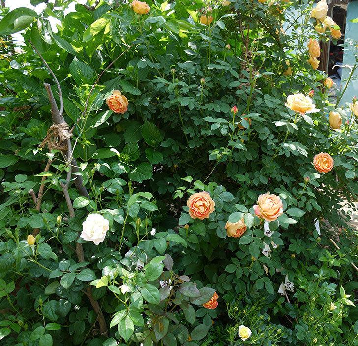サンスプラッシュ(ミニバラ)の花が咲いた。2017年-8.jpg