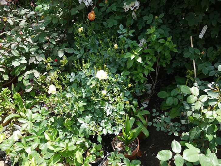 サンスプラッシュ(ミニバラ)の花が咲いた。2017年-9.jpg