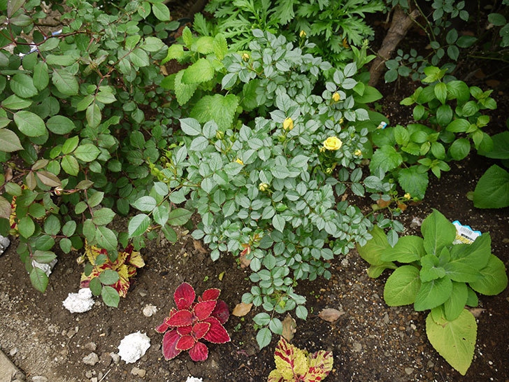 サンスプラッシュ(ミニバラ)の花が咲いた。2018年-6.jpg