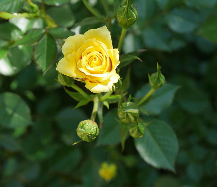 サンスプラッシュ(ミニバラ)の花が咲きだした。2019年-1.jpg