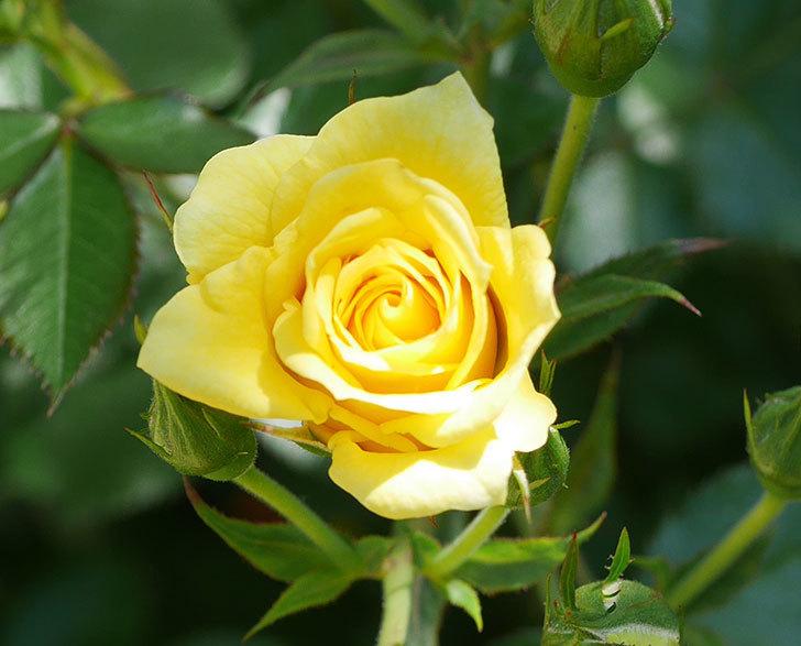 サンスプラッシュ(ミニバラ)の花が咲きだした。2019年-2.jpg