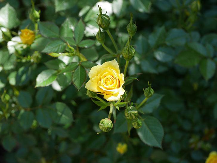 サンスプラッシュ(ミニバラ)の花が咲きだした。2019年-3.jpg
