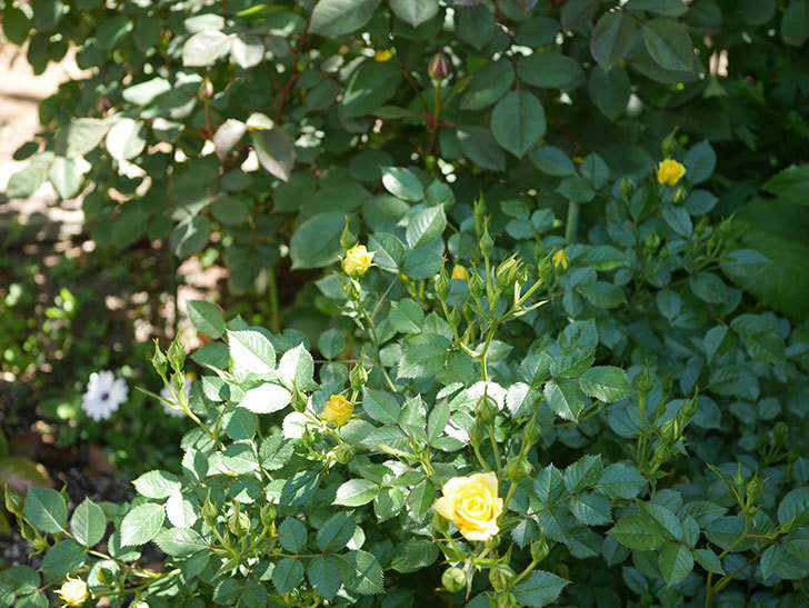 サンスプラッシュ(ミニバラ)の花が咲きだした。2019年-5.jpg
