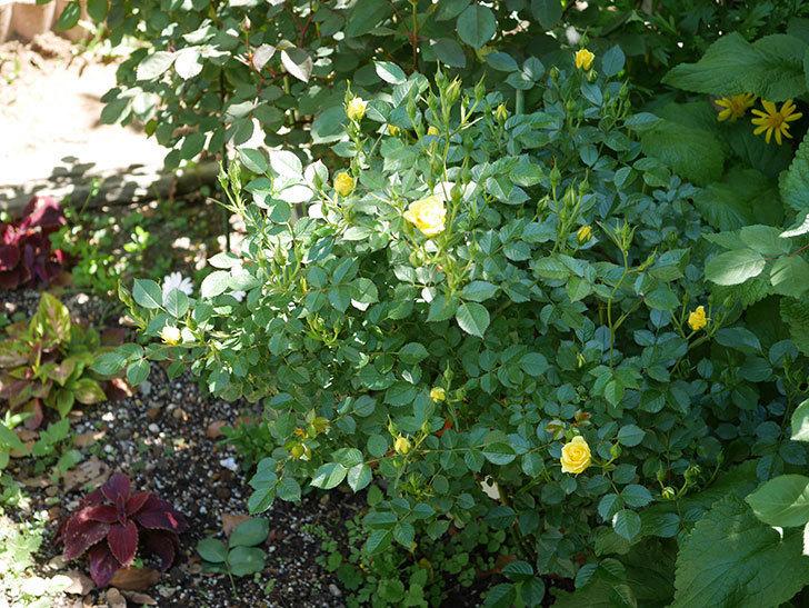 サンスプラッシュ(ミニバラ)の花が咲きだした。2019年-6.jpg