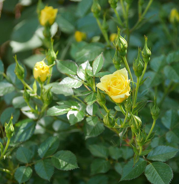 サンスプラッシュ(ミニバラ)の花が咲きだした。2019年-7.jpg