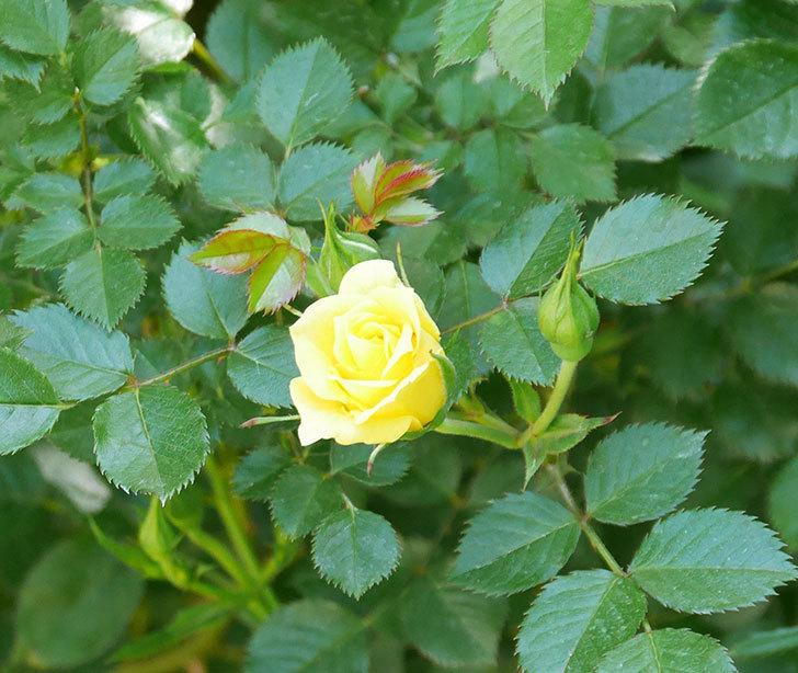 サンスプラッシュ(ミニバラ)の花が咲きだした。2019年-8.jpg