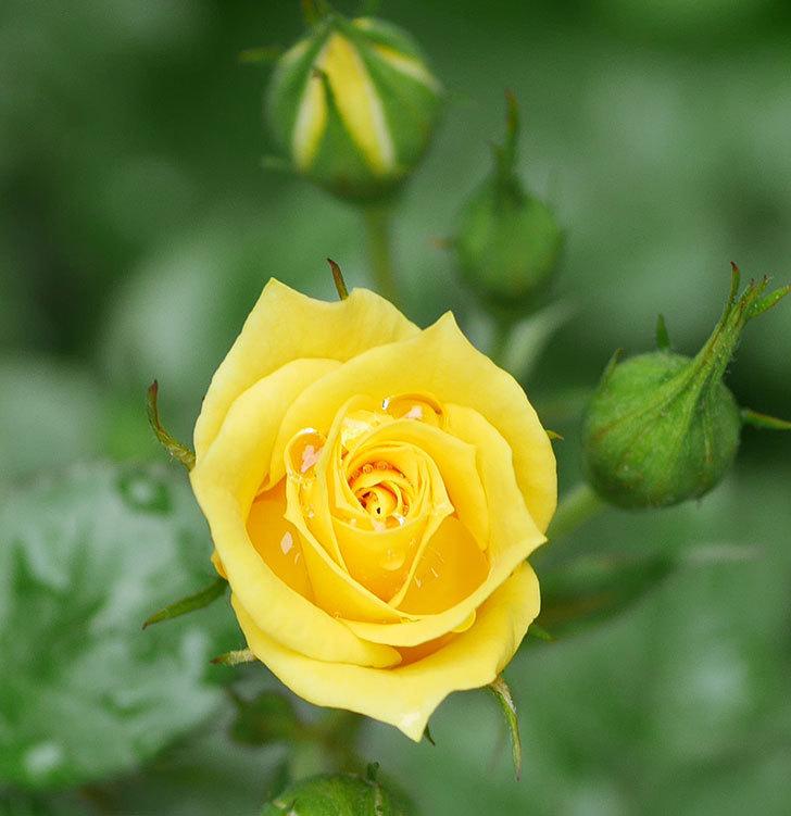 サンスプラッシュ(ミニバラ)の花が咲きだした。2020年-3.jpg