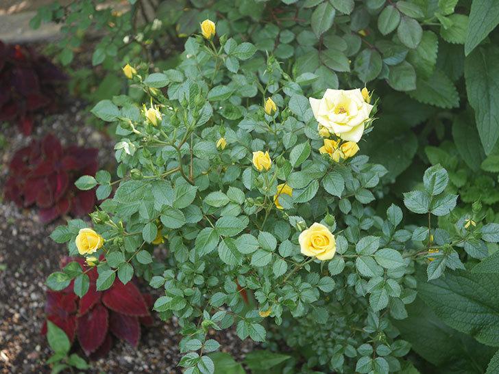 サンスプラッシュ(ミニバラ)の花が増えてきた。2020年-1.jpg
