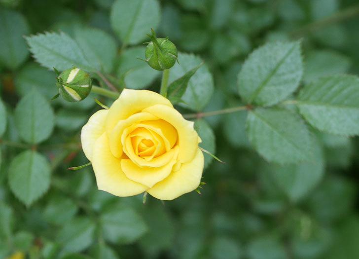 サンスプラッシュ(ミニバラ)の花が増えてきた。2020年-2.jpg