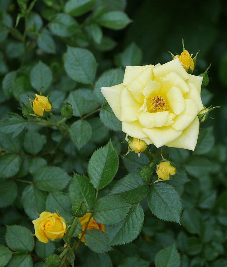 サンスプラッシュ(ミニバラ)の花が増えてきた。2020年-3.jpg