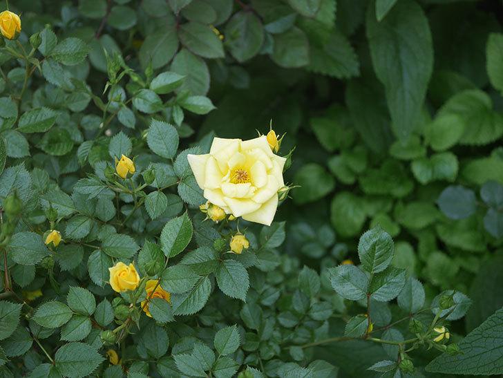 サンスプラッシュ(ミニバラ)の花が増えてきた。2020年-4.jpg