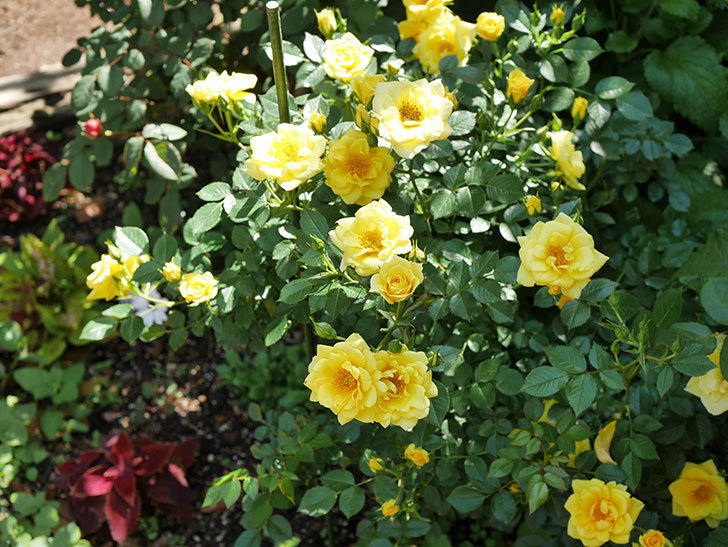 サンスプラッシュ(ミニバラ)の花が増えて来た。2019年-3.jpg