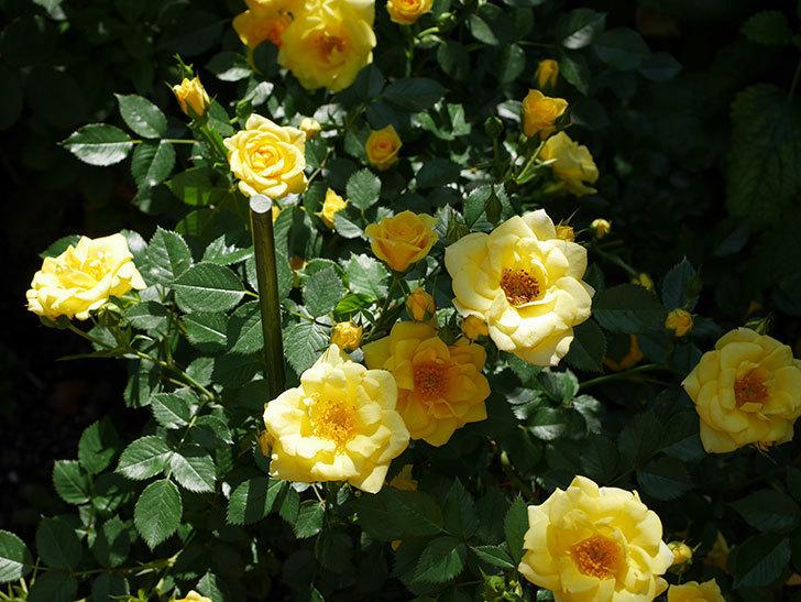 サンスプラッシュ(ミニバラ)の花が増えて来た。2019年-4.jpg