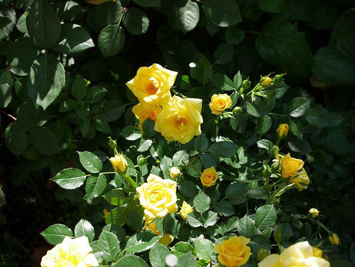 サンスプラッシュ(ミニバラ)の花が増えて来た。2019年-5.jpg